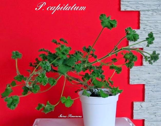 p.capitatum
