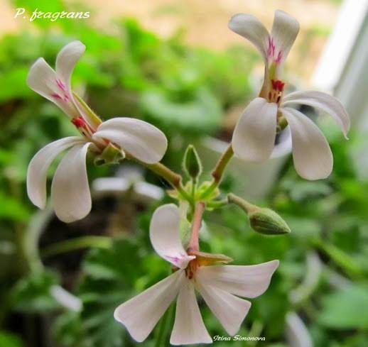 p.fragrans