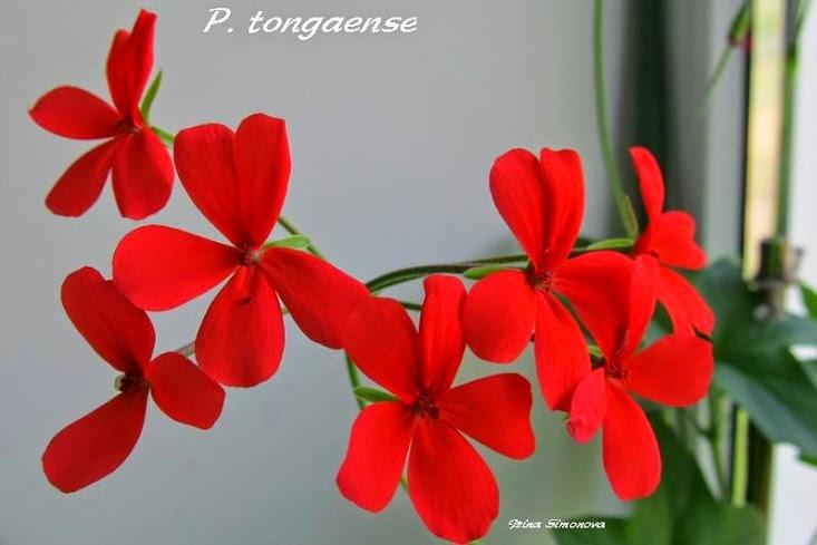 p.tongaense