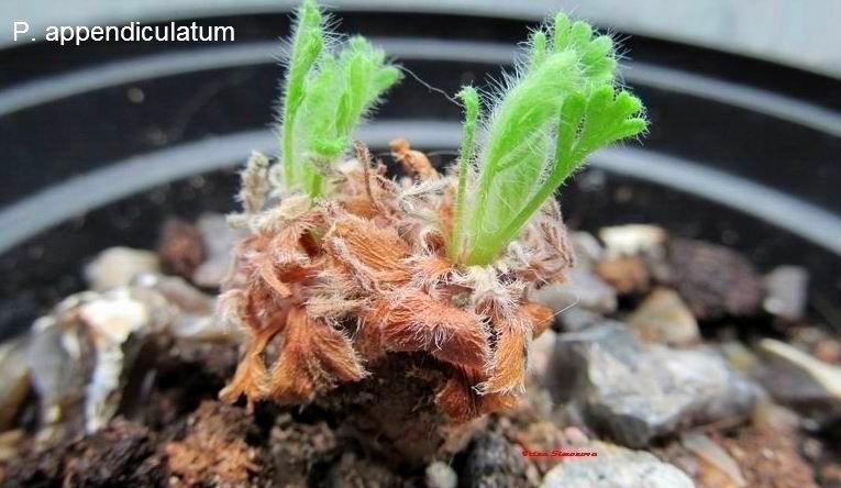 p.appendiculatum