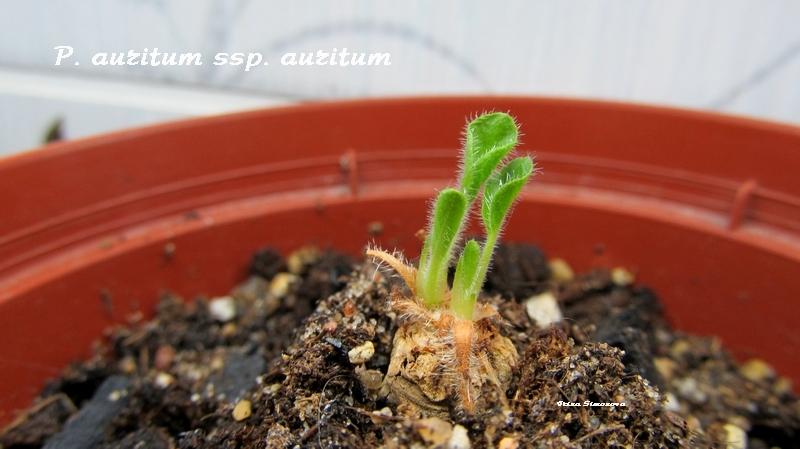 p.auritum ssp auritum