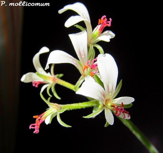 p.mollicomum