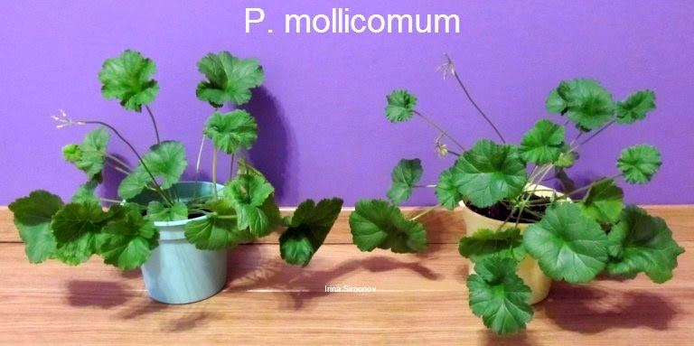 belmoneta.by p.mollicomum