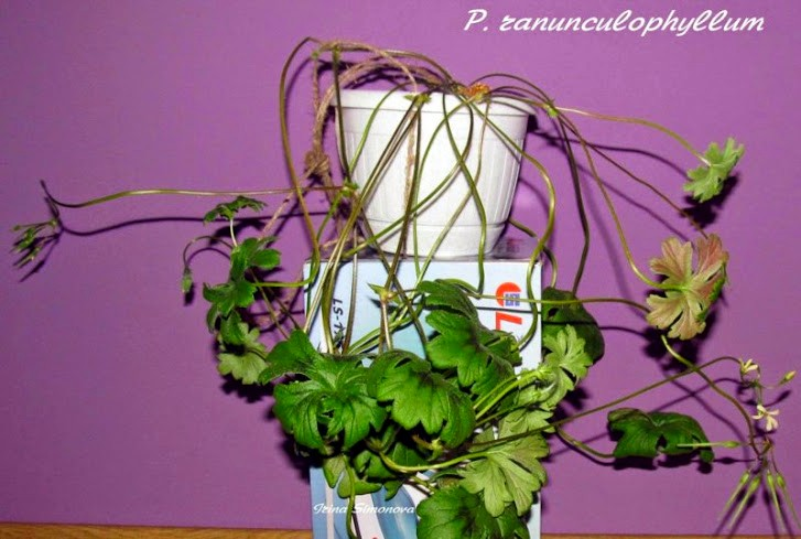 p.ranunculophyllum